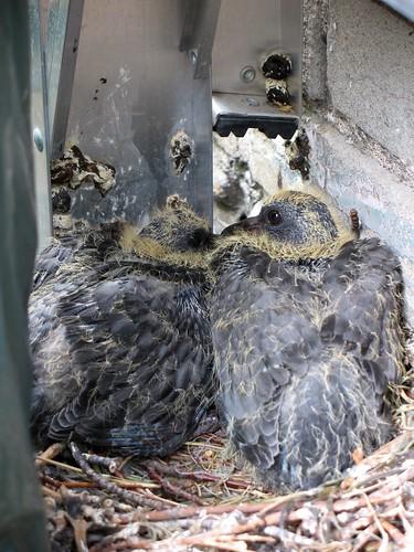 Baby Birdorable: Rock Pigeon in Pigeons & Doves, Baby Birds