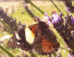 Butterly getting all messed up Lavender (feedmestars) Tags: butterfly lavender fullhouse butterflydrinkinglavender