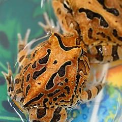 Pacman Frogs 2 (OldUncleMe) Tags: brown black yellow dof bokeh tan fair frogs d200 amphibians daytonabeachflorida nikonstunninggallery sigma15028macro hornedfrogs nationalreptilebreedersexpo20078 leptodactylidaeceratophrys