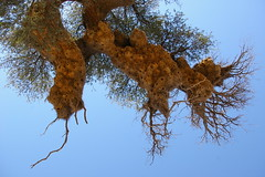 .metropolis. (codaaa) Tags: natura uccelli fantasia botswana nido kalahari sudafrica stupore emozione raccontarelanatura genialità