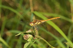"""Common Darter Dragonfly (Sympetrum s(65) • <a style=""""font-size:0.8em;"""" href=""""http://www.flickr.com/photos/57024565@N00/1387015872/"""" target=""""_blank"""">View on Flickr</a>"""