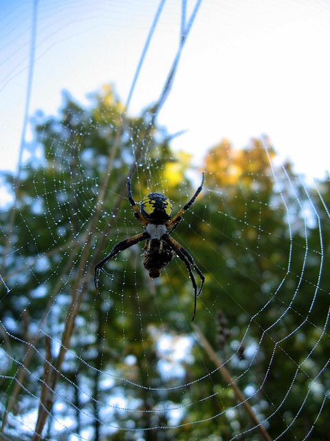 Morning Spider Meal