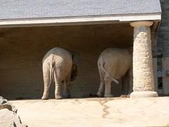 Philadelphia Zoo - African Elephant (fkalltheway) Tags: elephant africanelephant philadelphiazoo elephantsrhinosgiraffeshippos fkalltheway