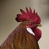 Macro-Chicken (dr ama) Tags: deleteme5 deleteme8 deleteme deleteme2 deleteme3 deleteme4 deleteme6 deleteme9 deleteme7 deleteme10