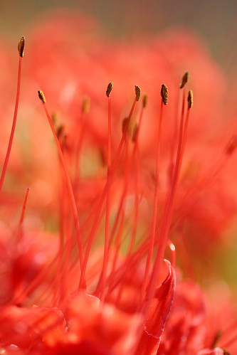 Cluster amaryllis by 5D-2