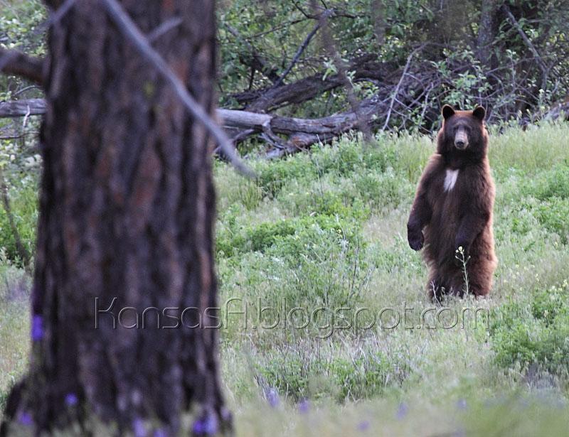 Bear (by KansasA)