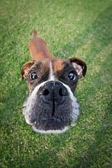 [フリー画像] 動物, 哺乳類, イヌ科, 犬・イヌ, ボクサー (犬), 201010221100