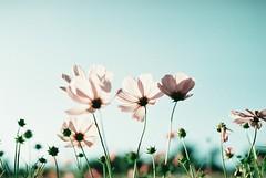 *Cosmos (fangchun15) Tags: flower film japan zeiss tokyo bokeh explore cosmos tachikawa 秋菊 nikonfe2 昭和記念公園 コスモス