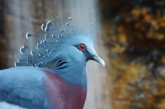 Red-Eyed Beauty (JebbiePix) Tags: blue bird waterfall bokeh pigeon feathers redeye centralparkzoo victoriacrownedpigeon peregrino27life