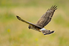 Hen Harrier 03 (zikko1952) Tags: winter flower bird nature birds animal japan female nikon bokeh wildlife flight aves     akita   d1     wildbird henharrier circuscyaneus     nikond1