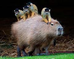 Squirrel monkey & Capybara (Supervliegzus) Tags: monkey squirrel beeksebergen