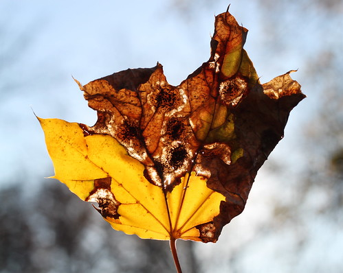45/52: backlit by the fading autumn sun