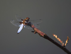 """Male Broad-Bodied Chaser (Libellula depressa) • <a style=""""font-size:0.8em;"""" href=""""http://www.flickr.com/photos/57024565@N00/531961873/"""" target=""""_blank"""">View on Flickr</a>"""