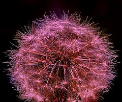 Gotta Post Pink ! (*janh*) Tags: pink manipulated picasa dandelion colorenhanced pinkalicious pinkforthepinkone