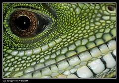 Ull de reptil ( Pere Soler) Tags: macro eye topf25 lafotodelasemana ojo explore lagarto reptil allrightsreserved anawesomeshot braid44 lfs062007 peresoler