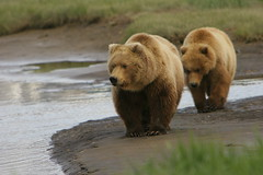 Katmai Female Brown Bear and Cub Approaching by MarkWells