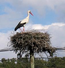 Mais uma em mais um poste (Amrico Meira) Tags: bird portugal animal ninho ace ave alentejo oiseau cegonha fronteira innature nanatureza