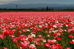 Cloud 9................. (tollen) Tags: pink red white love oregon ilovenature thankyou glorious poppies cloud9 willamettevalley poppyfield blueribbonwinner specland favoritegarden iwantedyoualltoseethis
