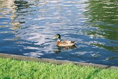 Cambridge (Nevica) Tags: cambridge water reflections duck punting ih rivercam anatra cambridgebacks