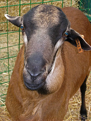 Sheep 201: Sheep diseases A-Z