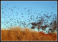 Blackbirds at Dusk, Asheville, North Carolina (moonjazz) Tags: autumn trees black bird fall nature birds animal wonder fly wings twilight many flock flight ducks northcarolina burst migration behavior flap blackbirds explode swarm suprise behaviour avairy