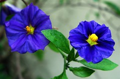Got the Blues? (pennyeast) Tags: blue friends plant flower macro nature garden southafrica botanical searchthebest capetown plantae mygarden naturesbest solanum westerncape solanaceae naturesfinest flowerscolors potatobush rantonnetii masterphotos mywinners flickrgold october2007 diamondclassphotographer flickrdiamond citrit empyreanflowers ysplix thebestpool papaalphaecho