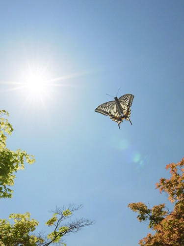Papilio xuthus in the blue sky