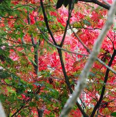 Autumn Rediance at Sheffield Park & Garden! (antonychammond) Tags: uk england sussex gmt potofgold coth supershot flickraward firsttheearth nikonflickraward esenciadelanaturaleza sheffiledparkgardennational trustautumnleaveseast