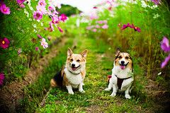 childhood friend (moaan) Tags: leica dog flower smile smiling digital walking 50mm corgi flora friend dof bokeh walk f10 utata flowering noctilux welshcorgi cosmos kota 2010 m9 fieldofflowers pochiko leicanoctilux50mmf10 leicam9 10yearshavepassed gettyimagesjapanq1 gettyimagesjapanq2