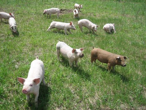 our pig pancetta