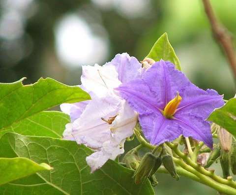Flowers of the Deadly Nightshade Creeper