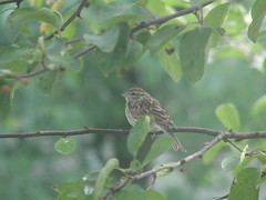 Young chipping sparrow