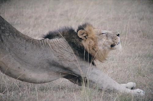 Uganda - QENP Male Lion Stretching