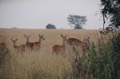 Uganda - QENP Kob Group