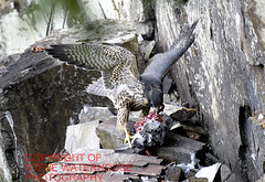 Peregrine Falcon near plymouth  with a wood pigion catch (spw6156) Tags: copyright woods steve nationaltrust falcons raptors waterhouse peregrine plymbridge peragrin cannquarry spw6156 stevewaterhouse plymperegrineproject plymbridgeperegrinefalcons copyrightstevewaterhouse