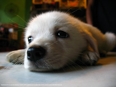 cute puppy (iklash/) Tags: nepal dog pet white cute animal canon puppy photography sad powershot kathmandu kailash aseries klash a640 gyawali powershota640 impressedbeauty klashdesign