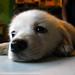 子犬:cute puppy