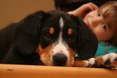 "These eyes...are watching you. (Photography in my ""spare time"") Tags: dog pup entlebucher kayce swissmountain"