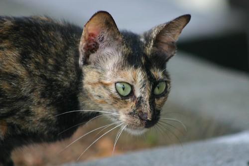 Bintan cat.