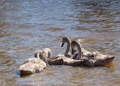 Five Juveniles (Missy2004) Tags: newforest cygnets hatchettpond