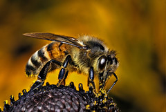 Waspish (graspnext) Tags: macro big grandmother quality momma bigmomma megashot superhearts magicofaworldinmacro photofaceoffwinner photofaceoffplatinum pfogold jan08pfobrackets