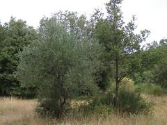 20070824 - Friday Olive Tree Blogging