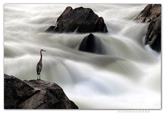Great (Falls) Blue Heron (Nikographer [Jon]) Tags: usa blur bird water birds animal animals rock pose landscape flow virginia landscapes waterfall lenstagged nationalpark nikon bravo rocks unitedstates greatfalls posing maryland august falls motionblur va d200 waterblur aug nikkor greatblueheron 2007 80400mmf4556dvr greatfallsnationalpark magicdonkey nikographer mywinners fav12007 20070829d20095792 preservetnc07 jss20081 imagesforblog1