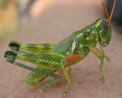 grasshopper chomping on my leg hair