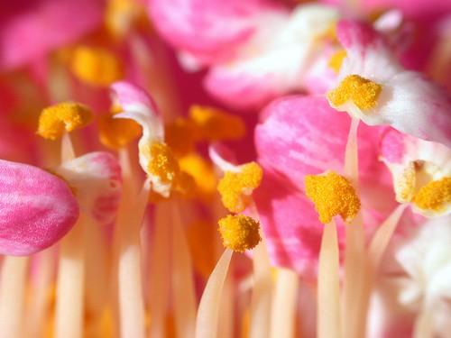 camellia stamen