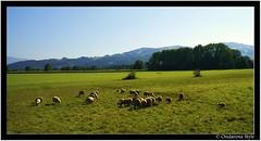 sheeps at work...   :) (G.Hotz Photography (busy as a bee =)) Tags: sky sun animal landscape austria sheep meadow wiese himmel bregenz gras landschaft tier schaf vorarlberg instantfave aplusphoto diamondclassphotographer flickrdiamond flickrgolfclub ondarena
