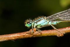 "Blue Tailed Damselfly (Ischnura elega(9) • <a style=""font-size:0.8em;"" href=""http://www.flickr.com/photos/57024565@N00/1432688080/"" target=""_blank"">View on Flickr</a>"