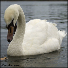 Swan (Guille__) Tags: inglaterra england naturaleza lake london nature lago swan londres cisne