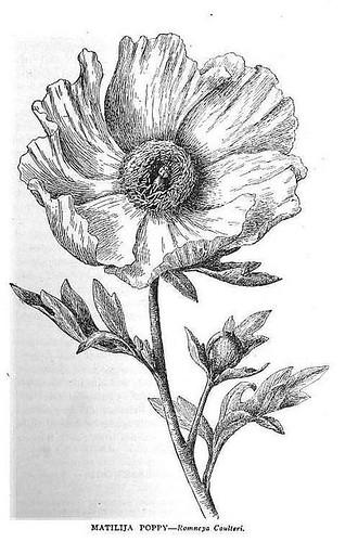 Matilija Poppy Wildflowers of California 1921
