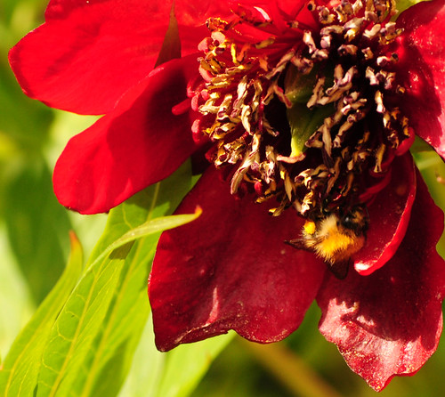 Bee on Tree Peony